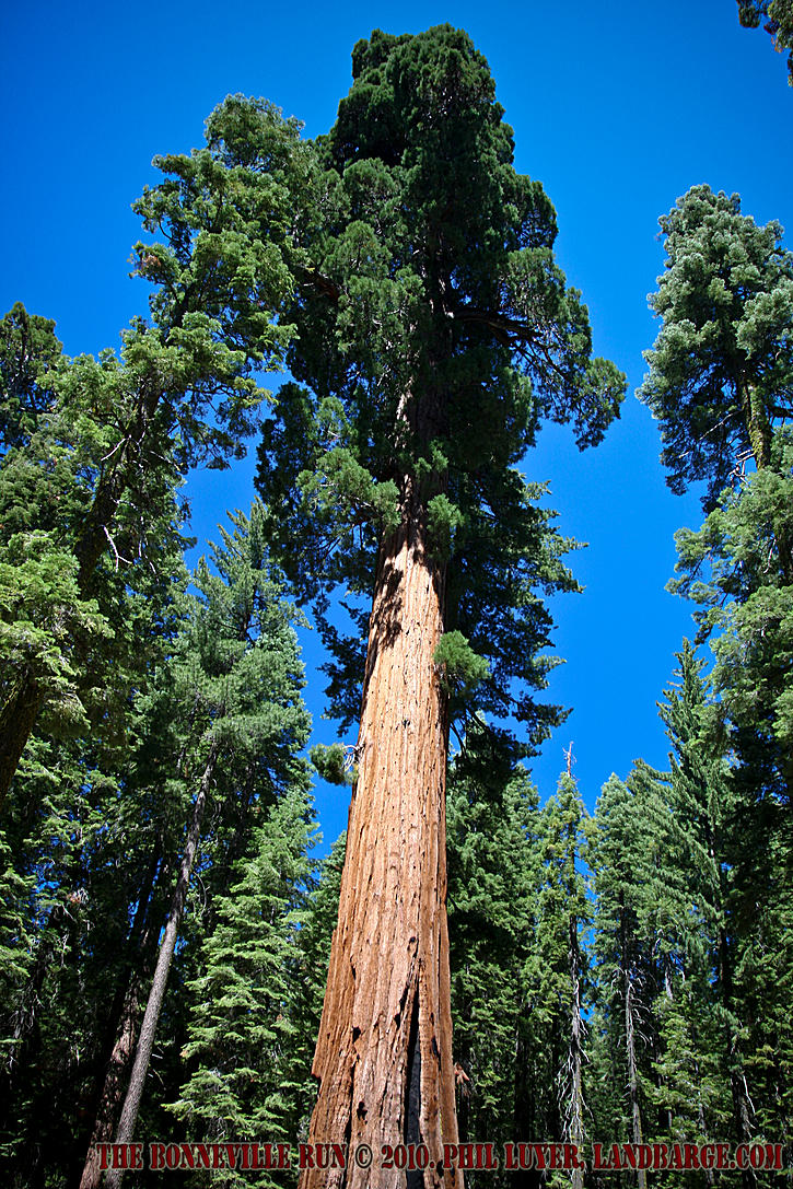 The Mariposa Grove of Giant Sequoia is a truly impressive sight